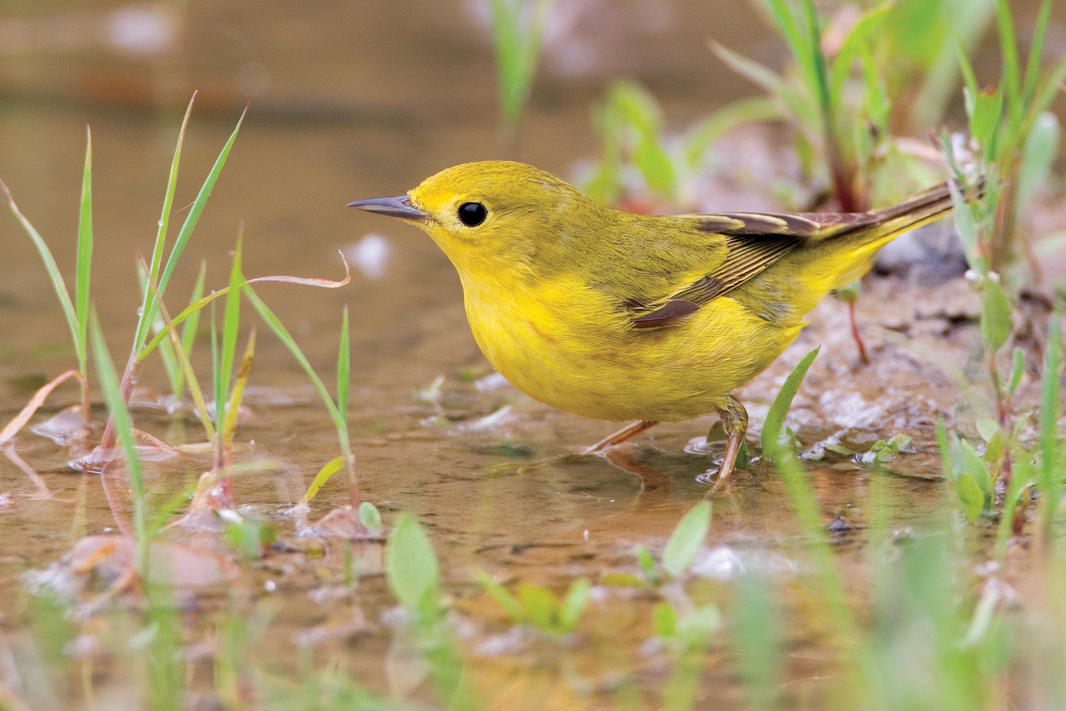 A yellow warbler in Cold Lake Provincial Park